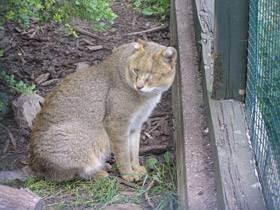 Домашний камышовый кот (чауси)