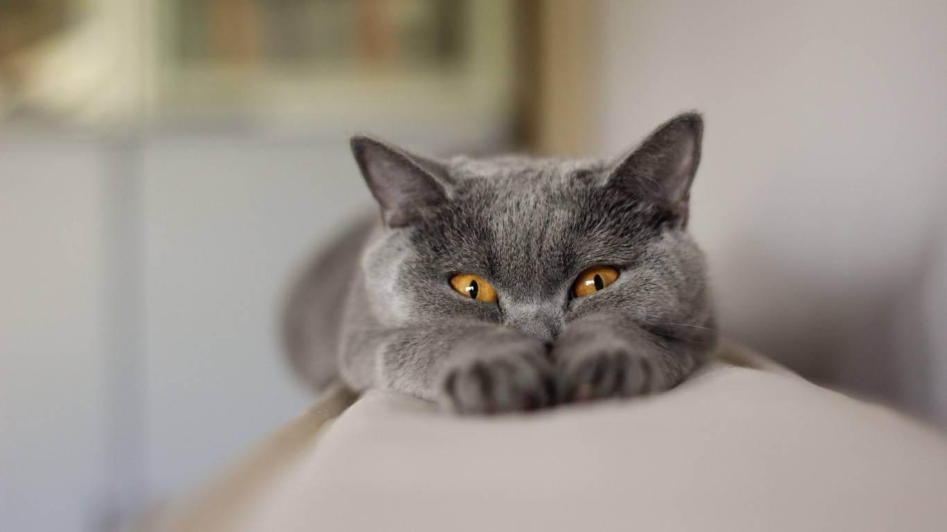 Уход за шотландской вислоухой кошкой во время беременности