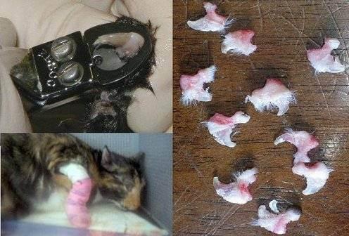 Какими ножницами стричь когти кошке. как подстричь когти коту в домашних условиях