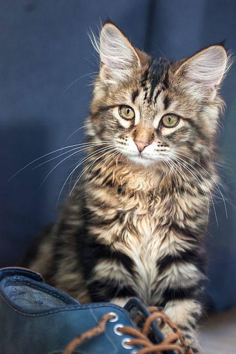 В чем заключается особенность полосатых кошек?