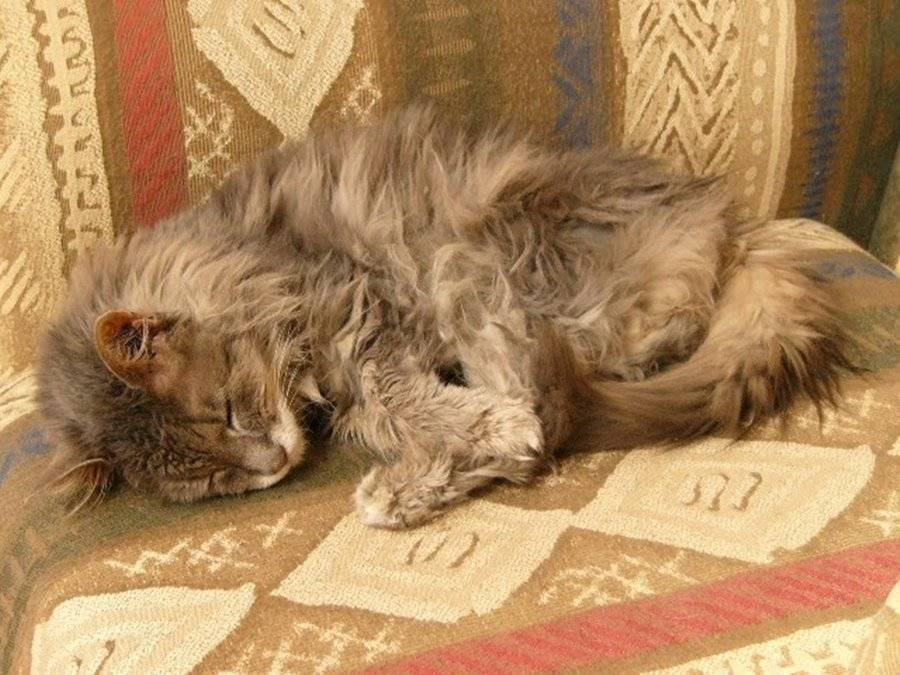 Почечная недостаточность у кошек и котов