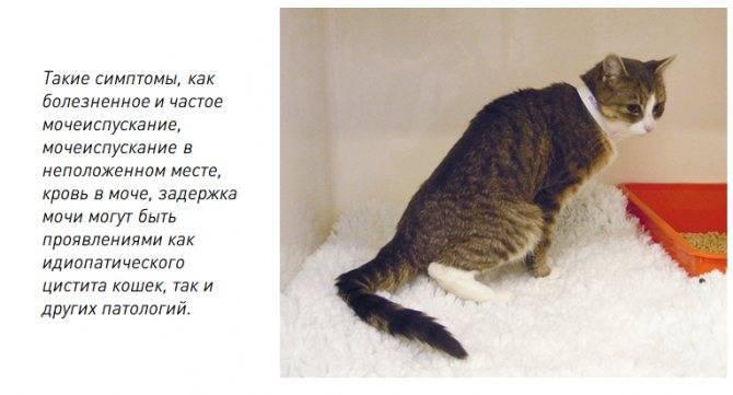 Учащённое мочеиспускание у котов: надо ли бить тревогу
