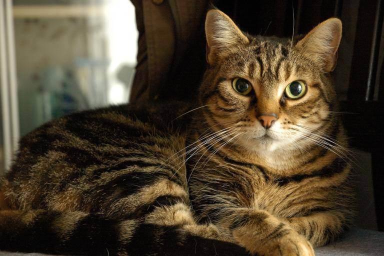 Прививки котятам и взрослым кошкам