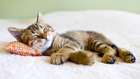 Кошки: церемония знакомства с любимцем