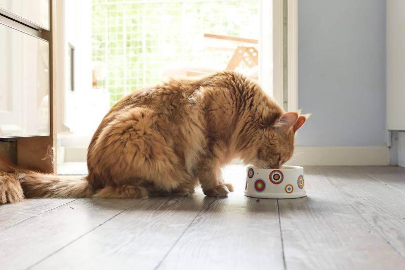 Таурин для кошек — на что влияет?