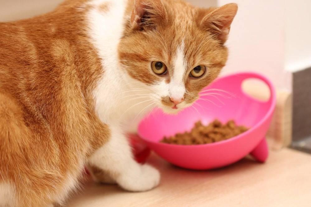 Как заставить есть больного кота или кошку после болезни, чем кормить животное, если оно ничего не хочет кушать?