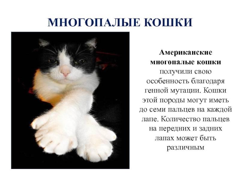 Сколько пальцев у кошки на передних и задних лапах, кто такие коты полидакты