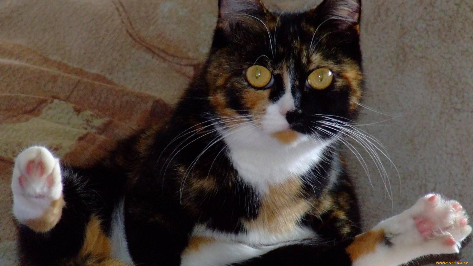 Трехцветные кошки: виды и мистика, интересное о окрасе