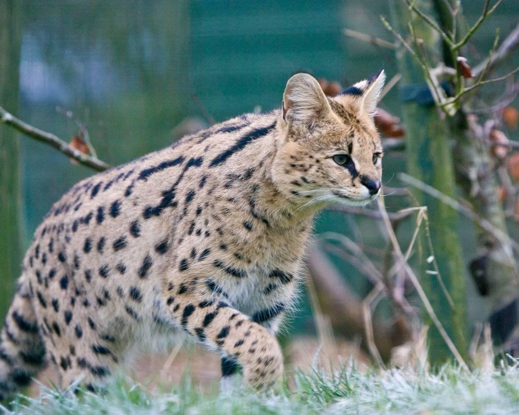 Редкие таинственные дикие кошки. вы даже не знали о существовании таких!