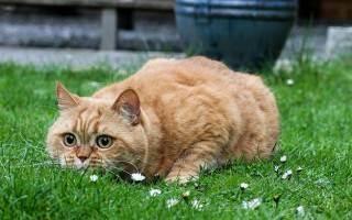 Окрасы британских кошек: фото и описание