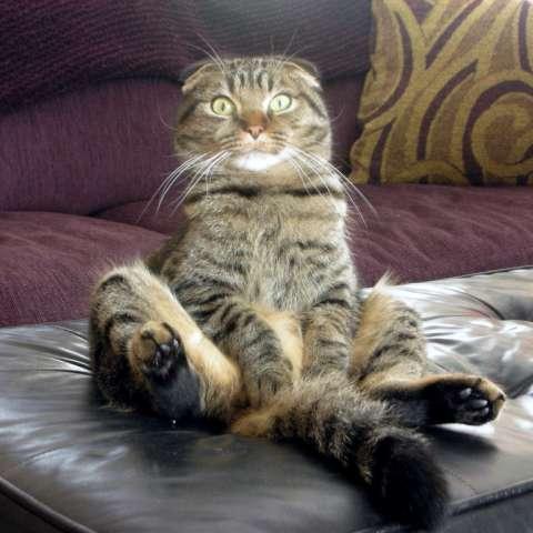 Чем кормить котенка 1, 5 месяца шотландского вислоухого