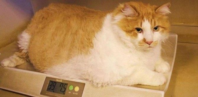 Самые толстые коты