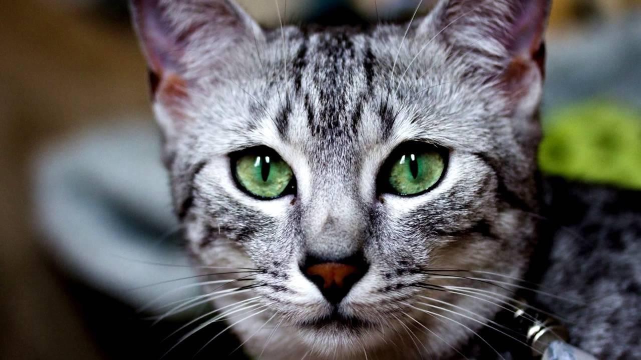 Кошки и коты с разными глазами: породы   белая, фото