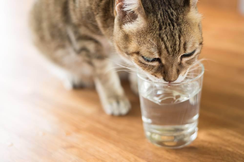 Что делать при отравлении у кошки