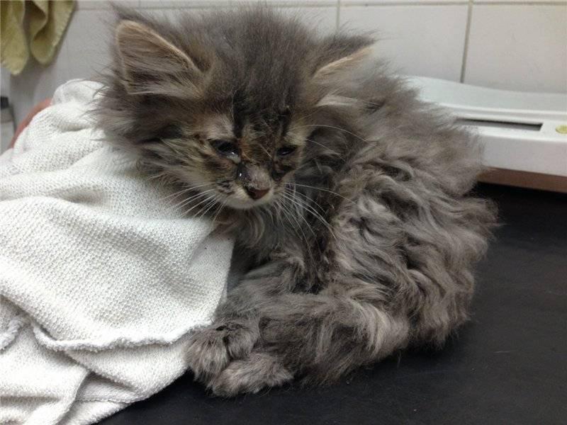 Чумка у кошек симптомы лечение в домашних условиях, как выжить