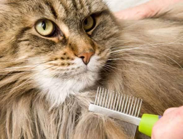 Как ухаживать за шерстью породистых кошек