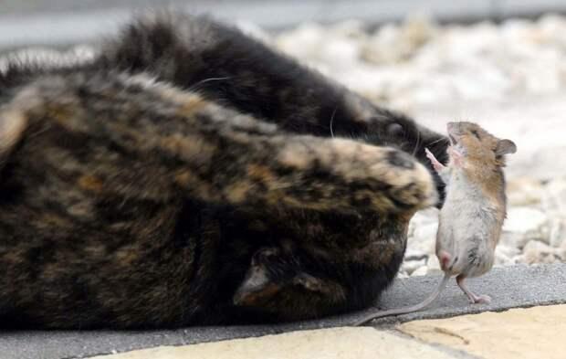 Как отравить кота отравой для мышей, если кошка съела отравленную мышь