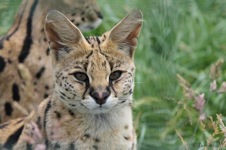 Сервал кошка: описание породы, содержание, уход, фото, цена