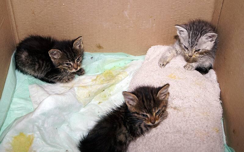 Панлейкопения у кошек: симптомы, опасность для человека, выявление и передача вируса, лечение