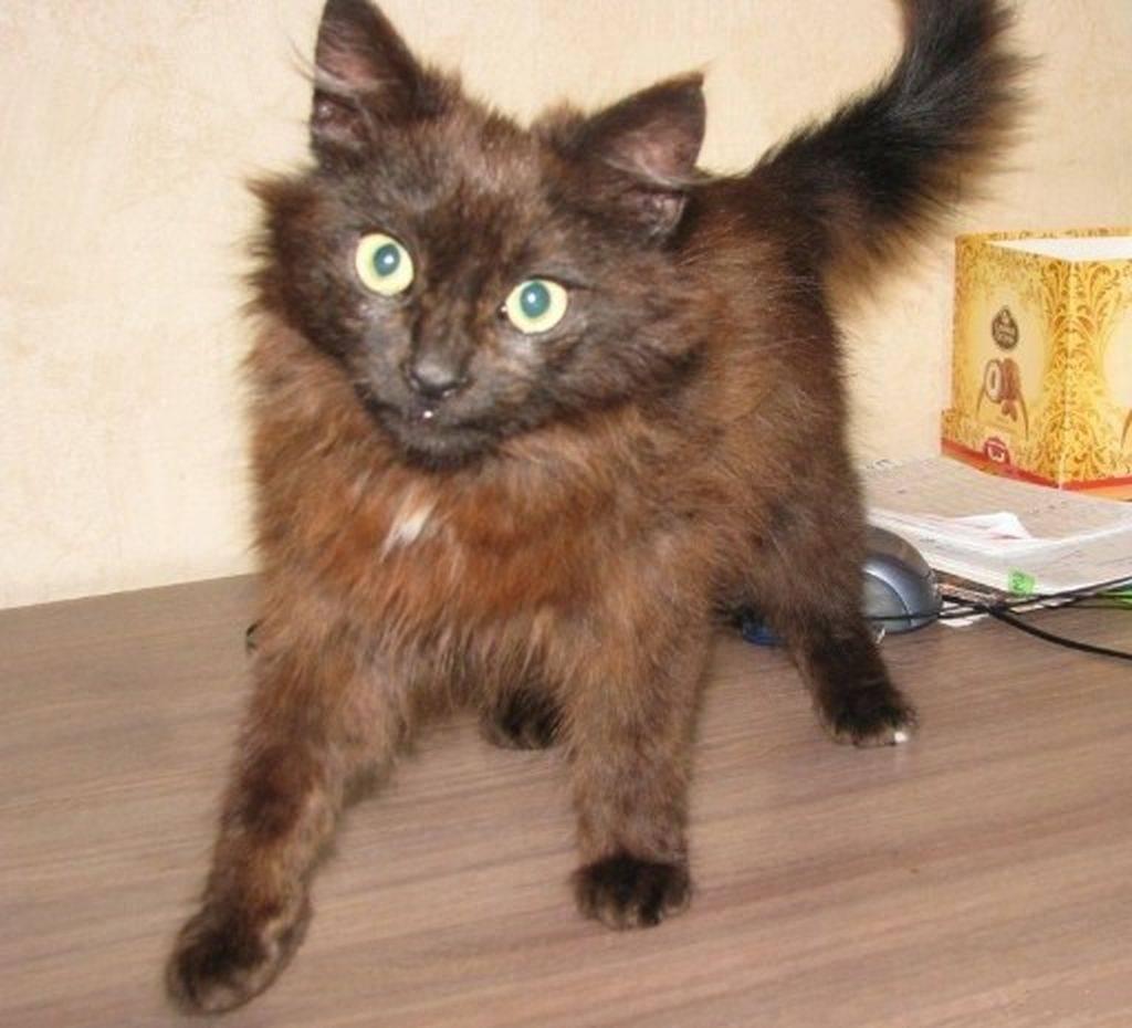 Коричневые кошки (25 фото): темно- и светло-коричневые породы котов с желтыми глазами. как выбрать котенка?