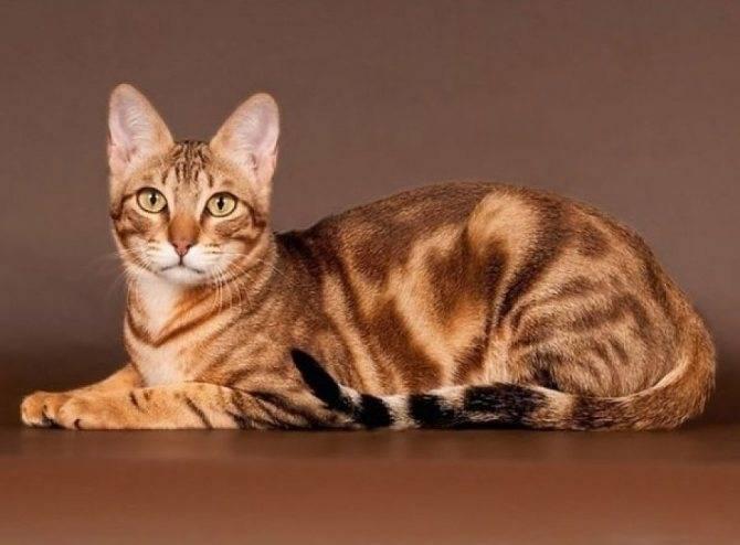 Тойгер: домашний «тигр»