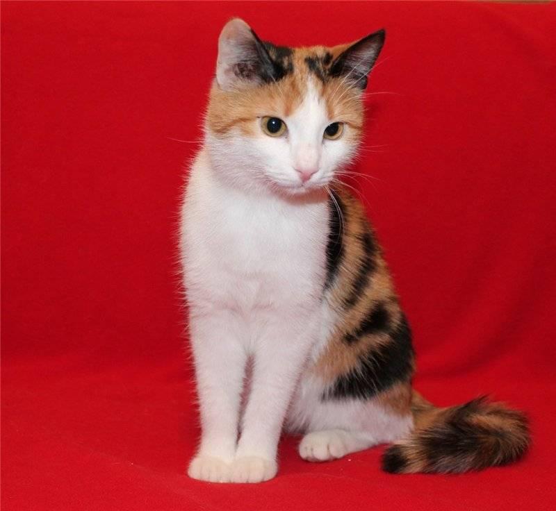 Рыжая кошка: бывают ли самки этого цвета, какая порода может быть у кота такого окраса?