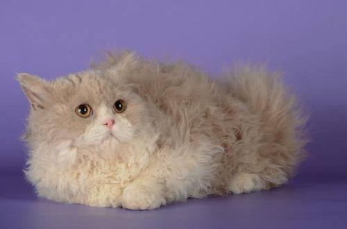 Селкирк рекс: описание и характер породы кошек, уход