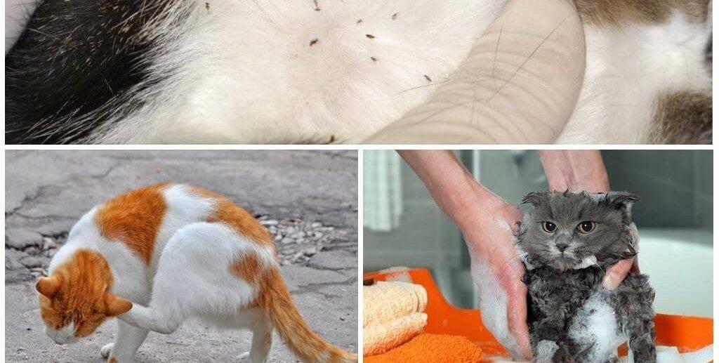 Откуда берутся блохи у домашних котов и кошек? отвечает квалифицированный ветеринар