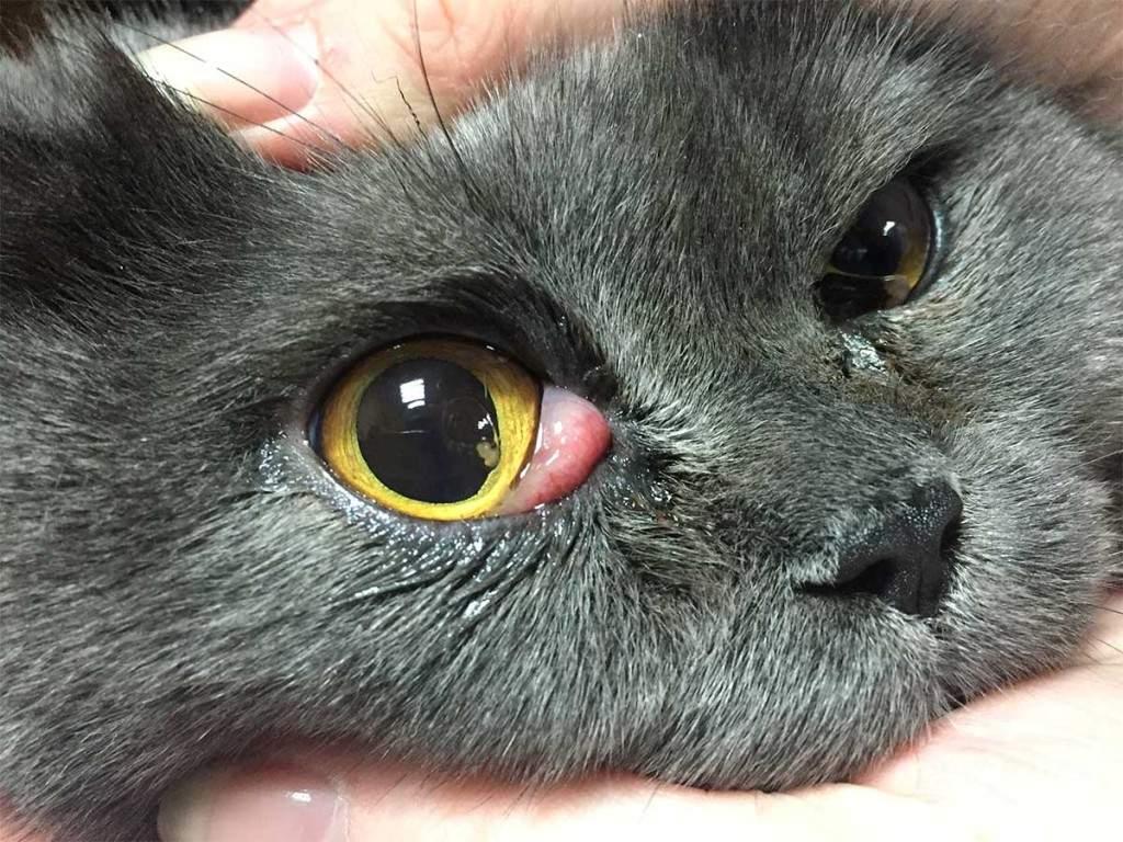 Третье веко у кошки закрывает глаз на половину: причины, как лечить