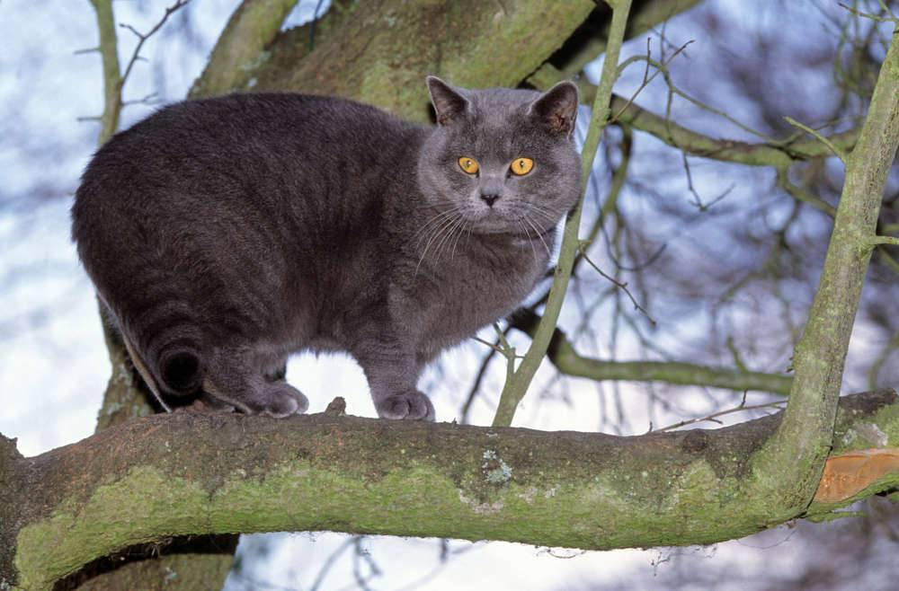 Шартрез (кошка): фото, цена, описание породы, характер
