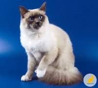Священная бирманская кошка в обзоре породы с описанием характеристик