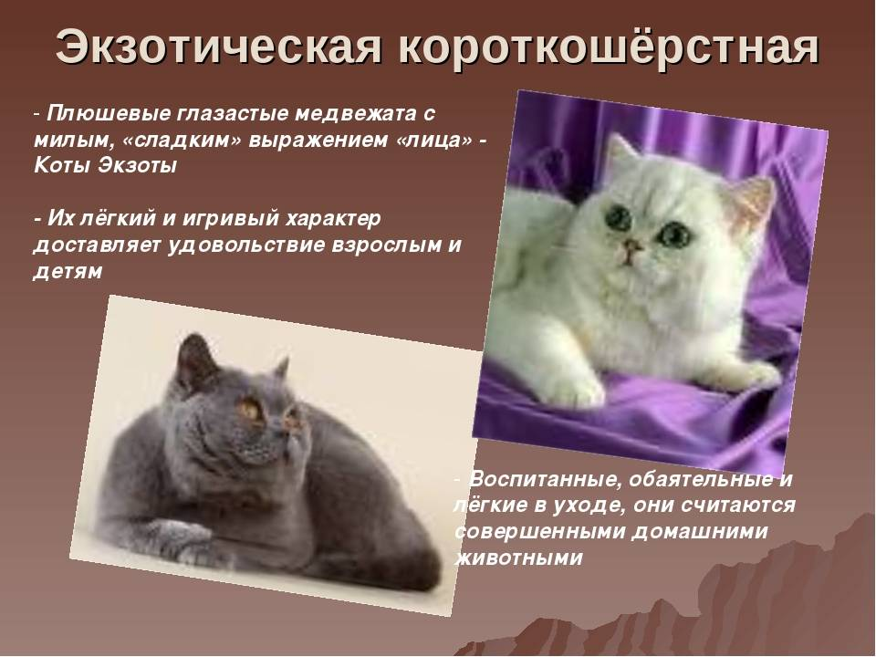Бразильская короткошерстная кошка: описание породы и особенности характера