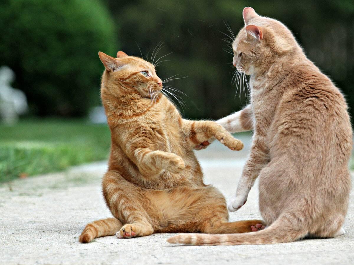 Как разнять дерущихся котов?