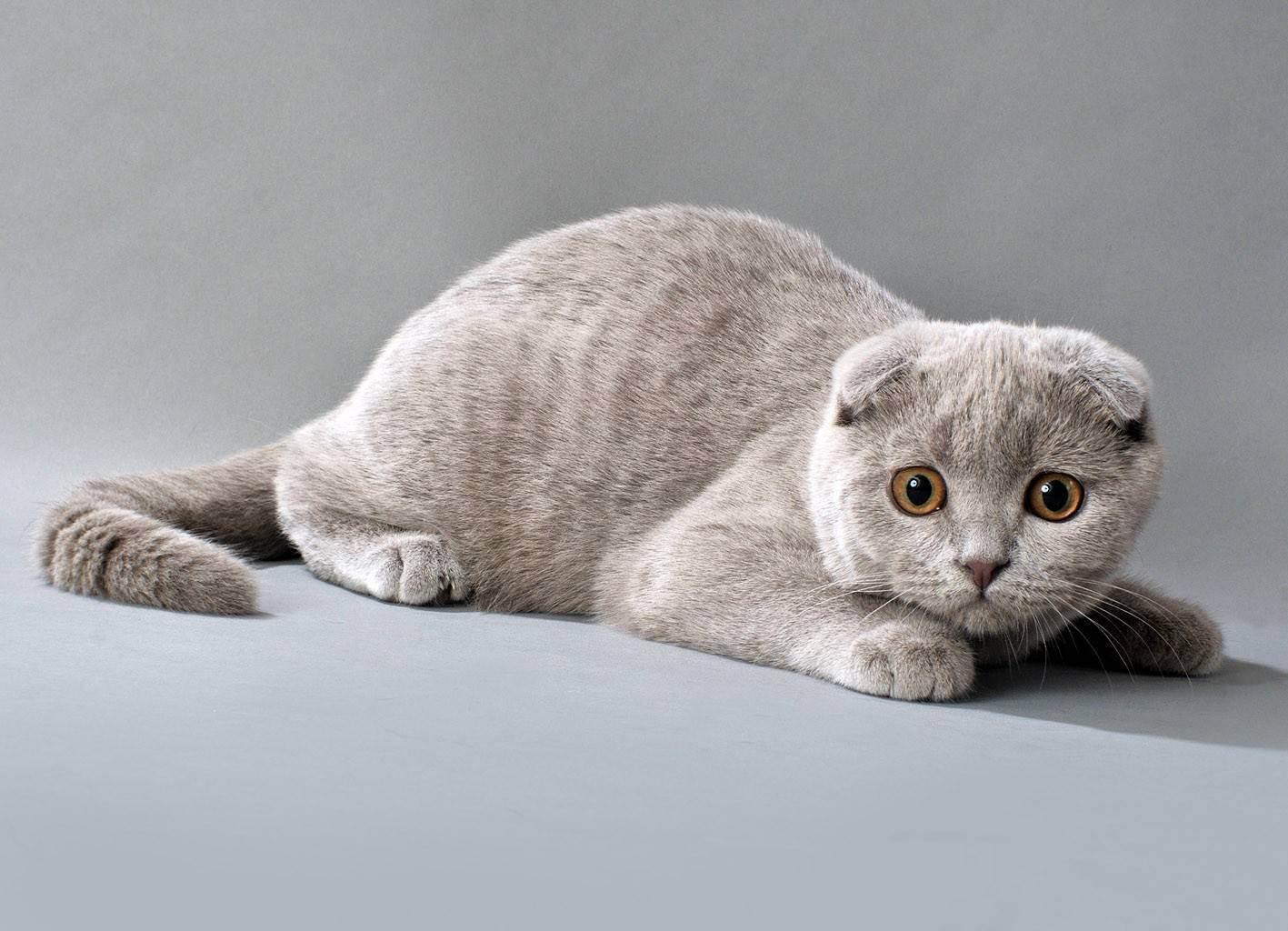 Шотландская порода кошек. скоттиш-фолд и скоттиш-страйт
