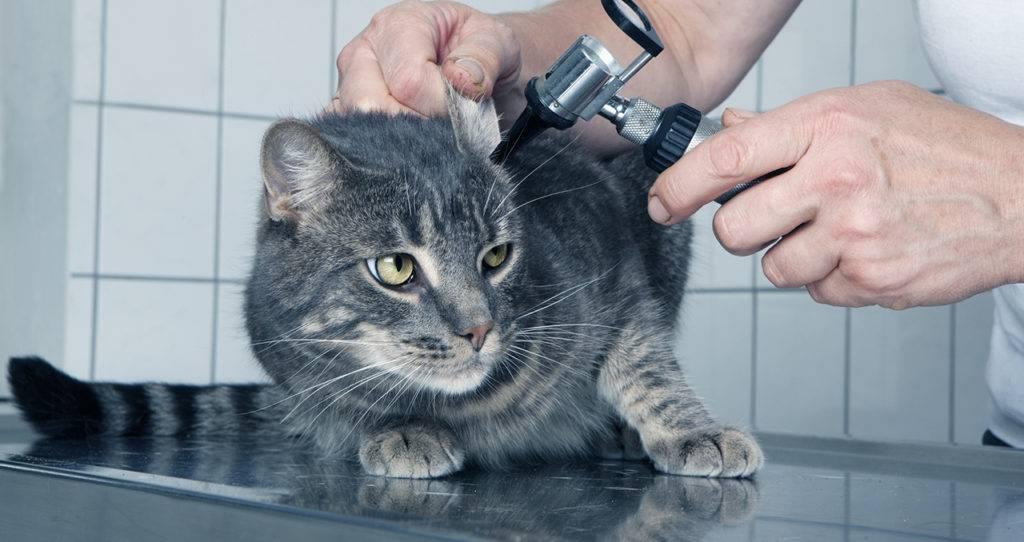 Ушной клещ у кошек: признаки, лечение в домашних условиях, мази и капли, фото