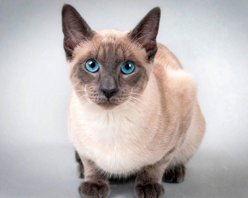 Какой характер у сиамской породы кошек? достоинства и отличительные черты