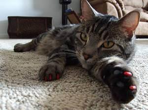 Удаление когтей у кошек: способ защитить себя и свою мебель