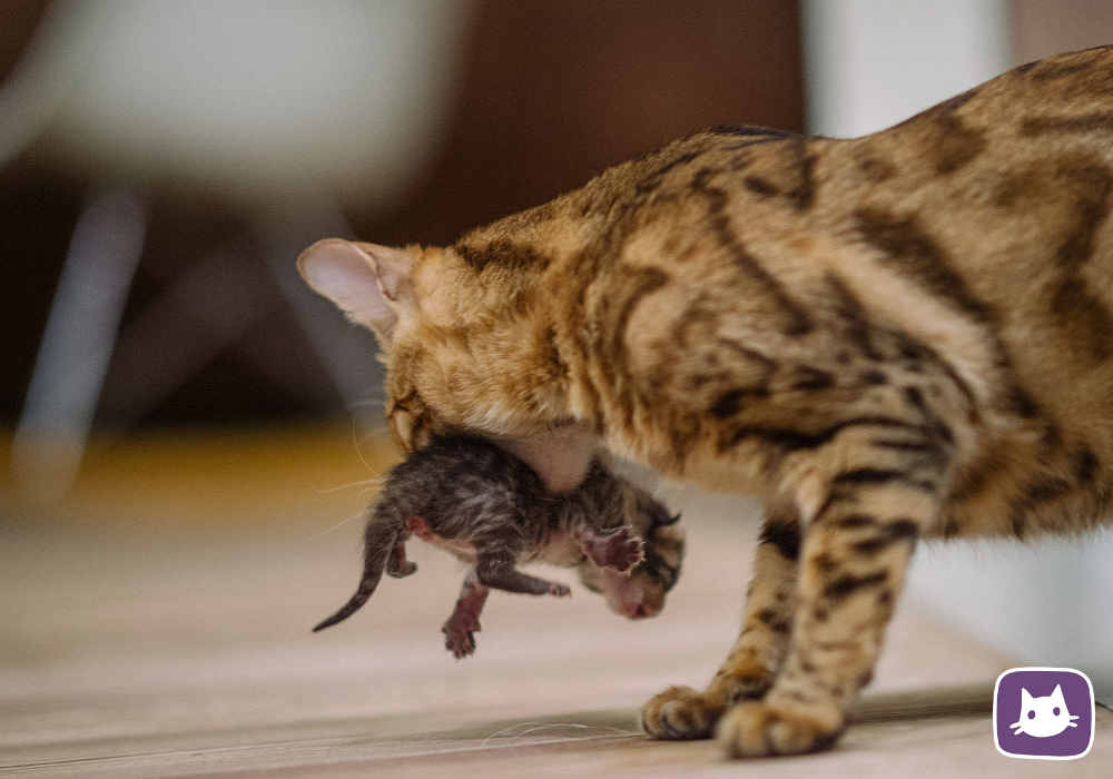 Кошка и новорождённые. как всё должно быть? - кошка не вылизывает новорожденных - запись пользователя юля (yuljash_ka) в сообществе домашние животные в категории кошки. болезни, прививки, советы по уходу - babyblog.ru