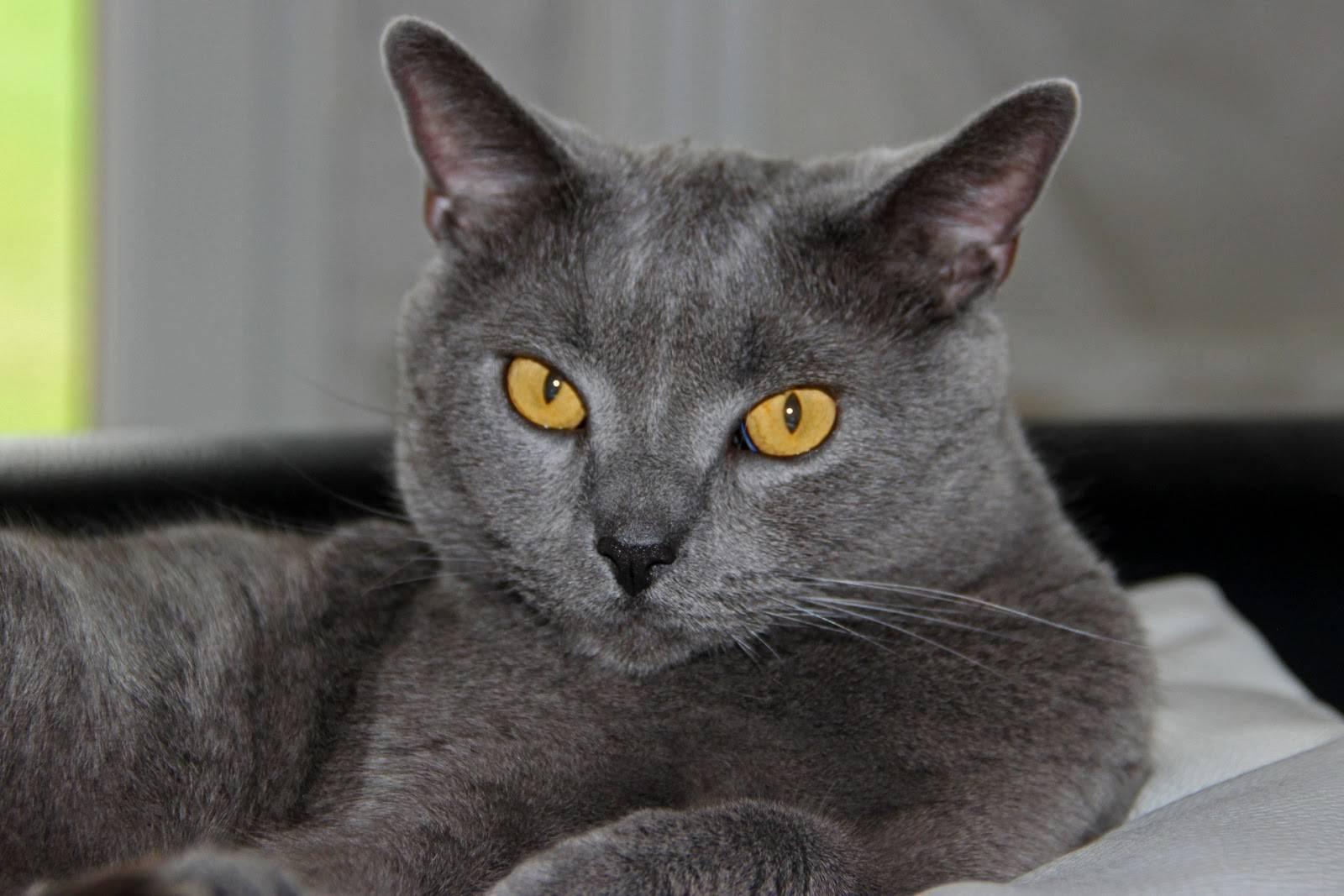 Шартрез кошка: фото, описание породы, характера, ухода