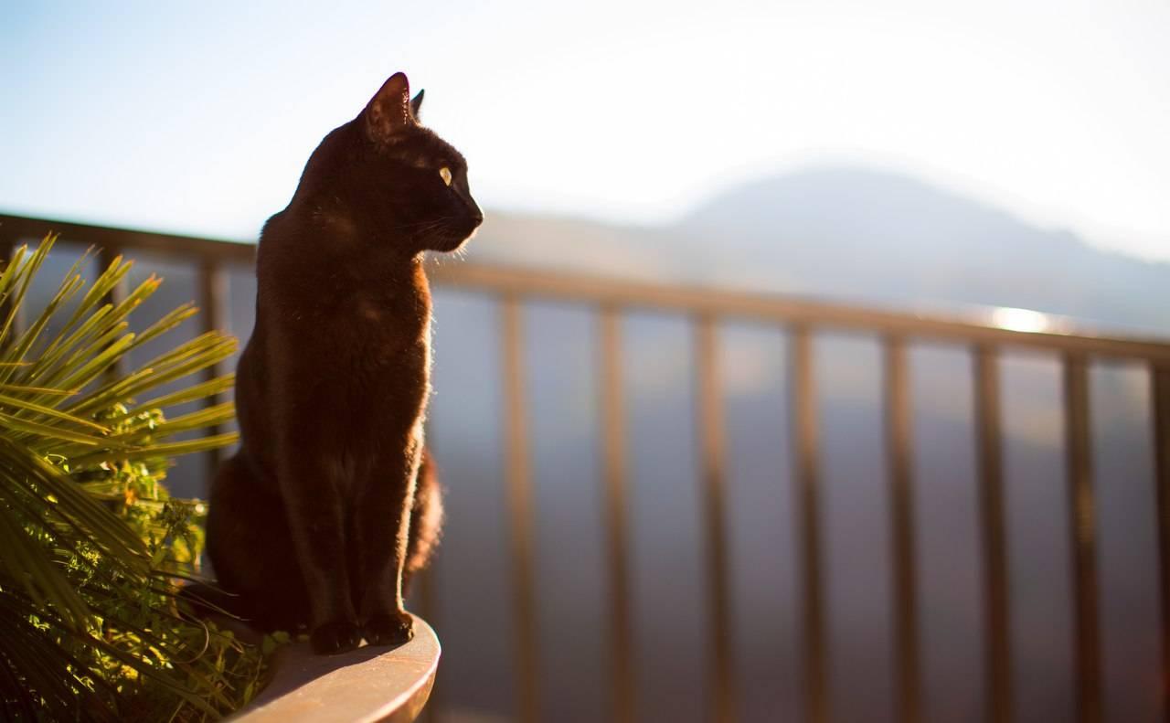 Короткошерстные породы кошек: виды, выбор и особенности ухода