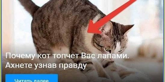 Почему кошки топчут вас лапками