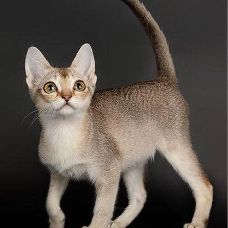 Самые маленькие породы кошек: 17 пород с фотографиями и названиями