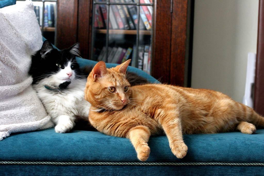 Вязка кошек: созревание, знакомство, спаривание, осложнения