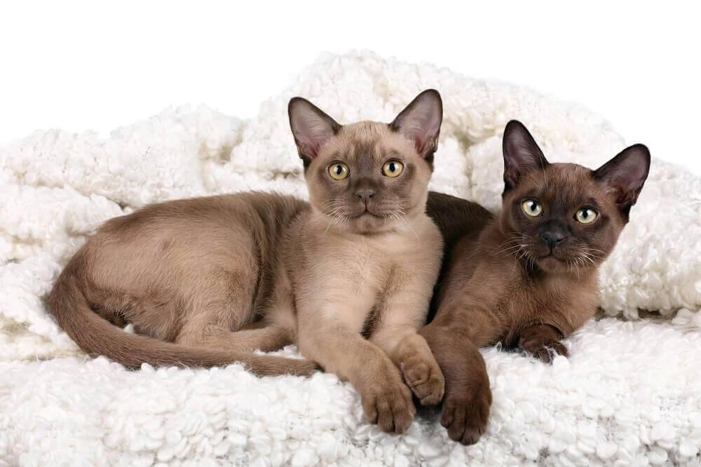 Уход за бурманской кошкой — основные правила содержания