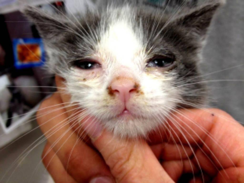 Панлейкопения у кошек: симптомы и лечение болезни