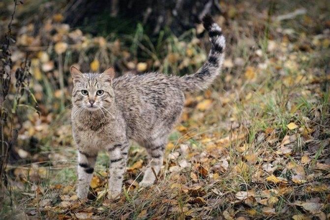 Кавказские лесные кошки – современники мамонтов, которые прячутся от глаз человека многие столетия