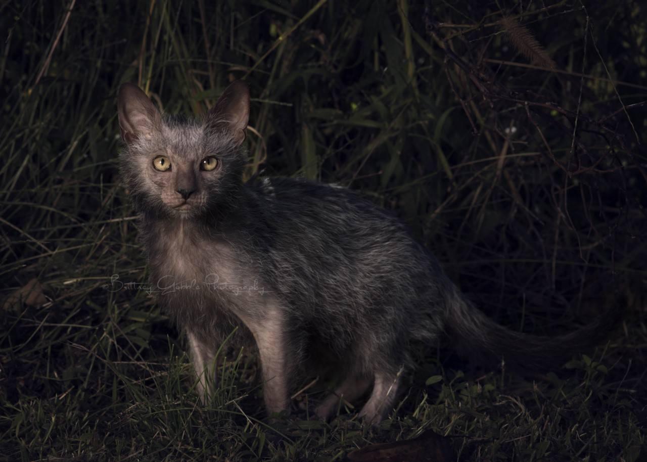 Ликой, или кошка-оборотень: фото и описание породы, особенности содержания и ухода