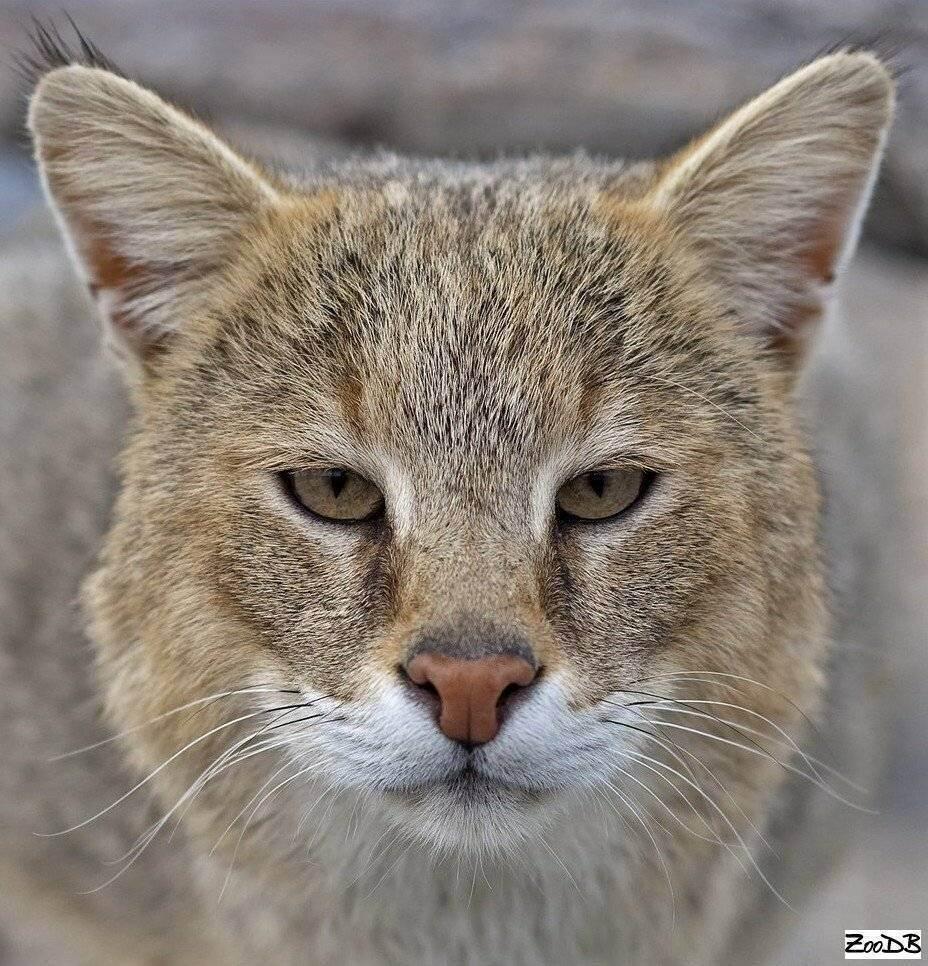 Камышовый кот (хаус) – фото, описание, питание, содержание, купить