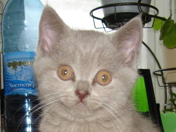 Можно ли котам давать молоко?   кот и кошка