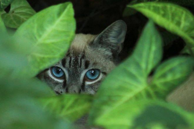 Охос азулес — кошка с васильковыми глазами